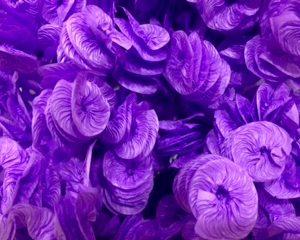liso lilas
