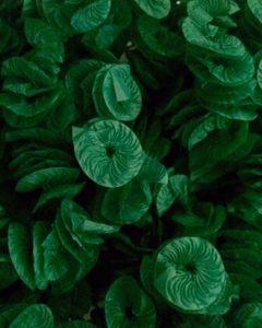 liso verde escuro